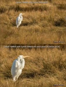 Great egret at 500mm and 1000mm with addition of 2X teleconverter. Click for larger image.