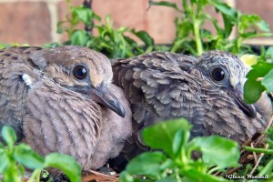 Baby doves taken with a 300mm lens and a short extension tube