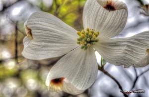 Closeup of dogwood bloom taken with 70-200mm lens and extension tube