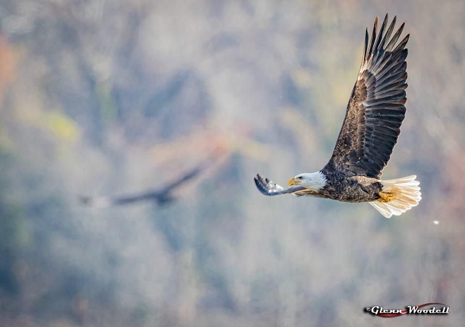 conowingo-eagle.jpg